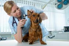Vétérinaire examinant un crabot photos libres de droits
