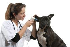 Vétérinaire examinant un crabot de croisement photo libre de droits