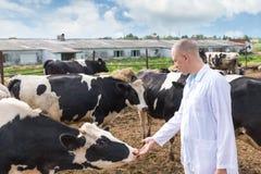 Vétérinaire sur des vaches à ferme Photos libres de droits