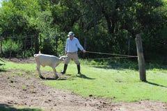 Vétérinaire traitant un veau Photos stock