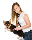 Vétérinaire vérifiant la fréquence cardiaque Photos libres de droits