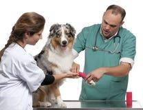 Vétérinaires enroulant un bandage autour d'un Australien photos stock