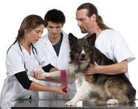 Vétérinaires enroulant un bandage autour d'un colley de cadre photos stock