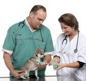 Vétérinaires enroulant un bandage autour de la patte d'un chiwawa photo stock