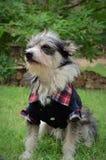 Vêtements de port de chien Images libres de droits