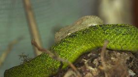 Víbora arrollada del latigazo del ojo, parque de la serpiente, Costa Rica, almacen de video