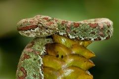 Víbora Coral-coloreada de la pestaña - Costa Rica Imágenes de archivo libres de regalías