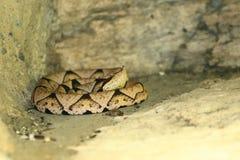 víbora de hoyo Agudo-sospechada Foto de archivo