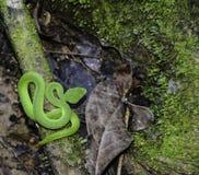 Víbora de hoyo del verde de la visión superior en Tailandia Imagen de archivo libre de regalías