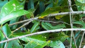 Víbora de hoyo del verde de Vogeli almacen de metraje de vídeo