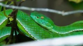 Víbora de hoyo del verde de Vogeli metrajes