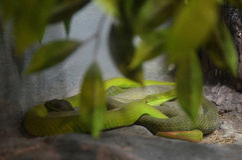 Víbora de hueco verde Foto de archivo