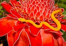 Víbora de poço amarela Venomous da pestana, ri da costela Foto de Stock