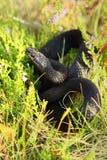 Víbora negra en hierba Fotografía de archivo