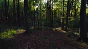 Vídeo aéreo de los árboles forestales del otoño en la montaña Fondos de madera verdes de la luz del sol de la naturaleza almacen de video