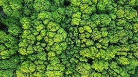 Vídeo aéreo de um dron uma opinião do olho do ` s do pássaro à floresta com árvores e os arbustos verdes 4K vídeos de arquivo