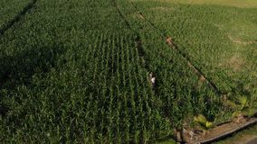 vídeo aéreo del abejón del vuelo 4K de los turistas jovenes de los pares que caminan en campo de maíz Isla de Bali almacen de metraje de vídeo