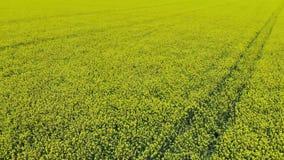 Vídeo aéreo del vuelo del abejón a través del campo de la semilla oleaginosa metrajes