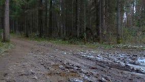 Vídeo de árboles caidos pino en el bosque almacen de video