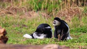 Vídeo de HD del guereza del Colobus del guereza Mantled Es grupo de monos blancos y negros Están jugando juntos almacen de video