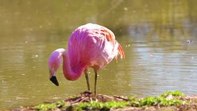 Vídeo de HD dos flamingos que estão na água, bicos de naufrágio na água que procura o alimento ? perto acima de video video estoque