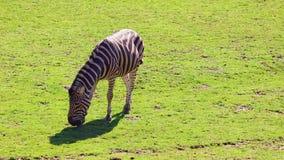Vídeo de HD de la cebra del buhonero - el chapmanni del quagga del Equus, pasta en hierba verde en primavera almacen de metraje de vídeo