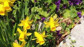 Vídeo de la cámara lenta de flores en primavera con el sol, las abejas, los colores y perfume metrajes