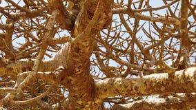 Vídeo de la cámara lenta de HD del árbol viejo grande del baobab en los llanos áridos de la sabana africana almacen de video