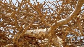 Vídeo de la cámara lenta de HD del árbol viejo grande del baobab en los llanos áridos de la sabana africana i metrajes
