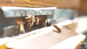 vídeo de la cámara lenta un enjambre de las moscas de abejas en una colmena recoge la miel del oso del polen abeja del concepto d almacen de metraje de vídeo