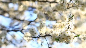 Vídeo de la flor del árbol de ciruelo almacen de video