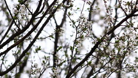 Vídeo de las flores del árbol de ciruelo almacen de metraje de vídeo