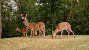 Vídeo de movimento lento do movimento selvagem do grupo da família dos cervos na natureza selvagem do parque nacional Yala de Sri vídeos de arquivo