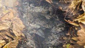 Vídeo de Timelapse de uma folha ardente do carvalho que aumenta das cinzas de uma pilha grande das folhas e dos galhos no outono  video estoque