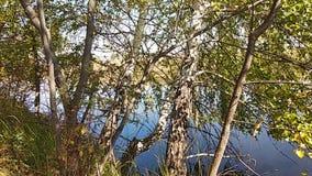 Vídeo de un abedul en un lago en un día de la tranquilidad del verano almacen de metraje de vídeo