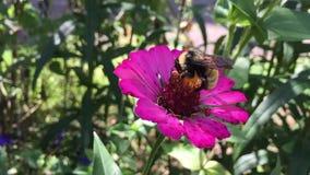 Vídeo de un abejorro nectaring en una flor del zinnia metrajes