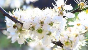 Vídeo de una flor del árbol de ciruelo almacen de metraje de vídeo