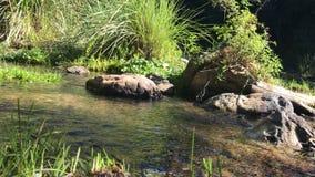 Vídeo del ángulo bajo de un flowin de la corriente o del arroyo en un bosque almacen de video