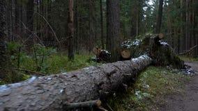 Vídeo del árbol de abeto caido en el bosque metrajes