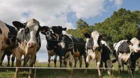 V?deo del aire libre de la manada de las vacas blancos y negros que comen la hierba verde Alimentaci?n de ganado, Eco que cultiva almacen de video