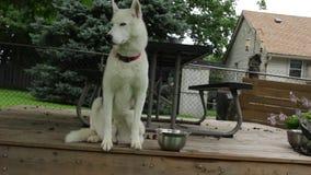 VÍDEO del husky siberiano que se sienta en cubierta en el patio trasero genérico que parece magestic y tranquilo metrajes
