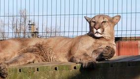 Vídeo del sol del verano de la mentira de la leona almacen de video