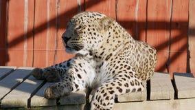 Vídeo del sol del verano de la mentira del primer del leopardo almacen de metraje de vídeo