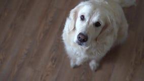 Vídeo divertido - el golden retriever del perro coge la comida en casa metrajes