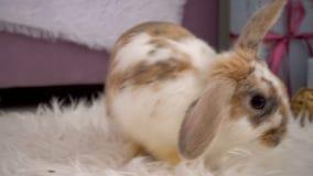 Vídeo do coelho bege que descansa no estúdio video estoque