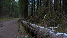 Vídeo do pinheiro caído na floresta video estoque