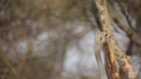 Vídeo do retrato da avestruz somaliana vídeos de arquivo