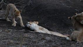 Vídeo exterior de un orgullo del león que obra recíprocamente almacen de metraje de vídeo