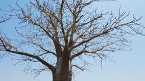 vídeo 4K de un gran baobab viejo que hace una pausa el agua metrajes