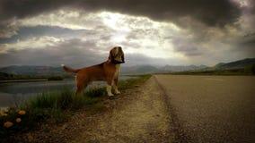 vídeo 4K: Rayos mientras que beagle en el paseo almacen de video